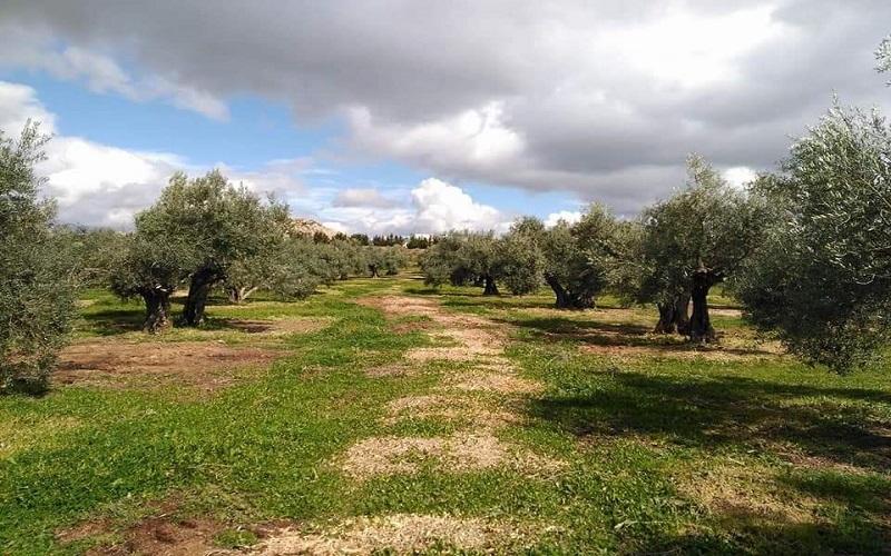 Visita olivar ecológico